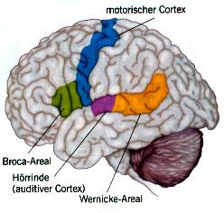 Nähe von Broca-Areal & motorischem Kortex im zentralen Nervensystem