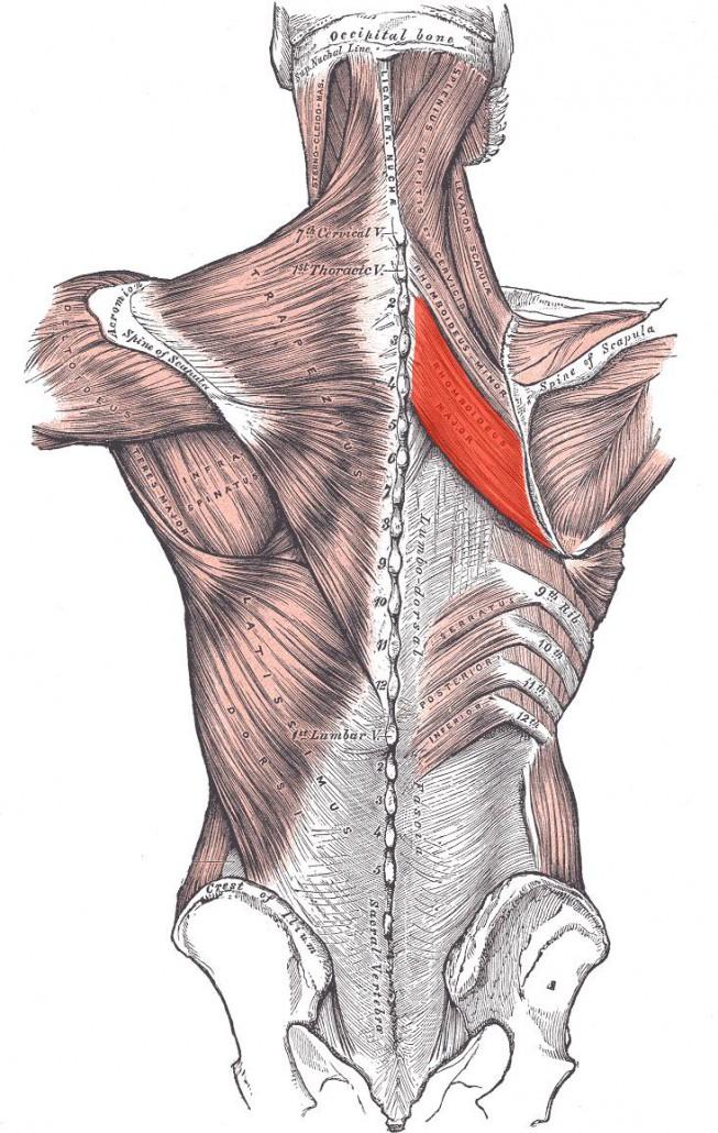 Muskulatur zwischen den Schulterblättern