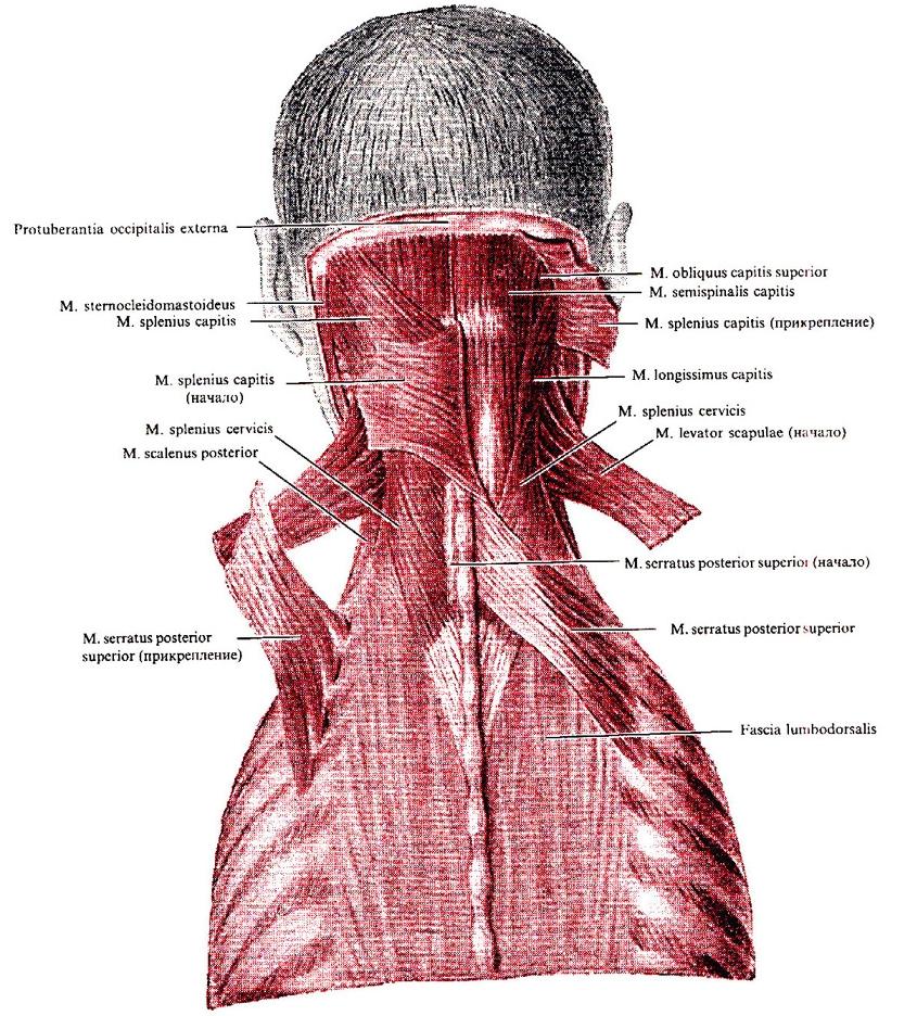 Schulter-Nacken-Muskulatur