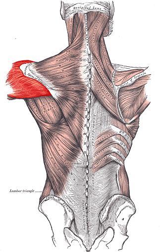 Deltoideus Schulterschmerzen frozen shoulder